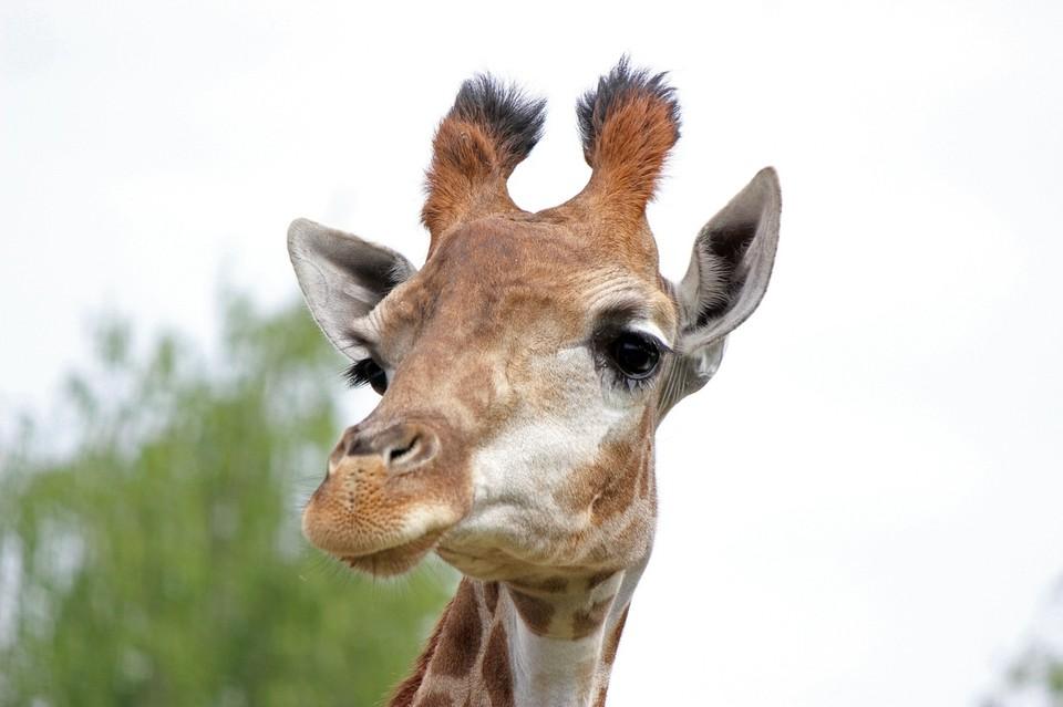 """Торт из листьев салата и бананов: В зоопарке """"Лимпопо"""" отметили День Рождения жирафы Радуги"""