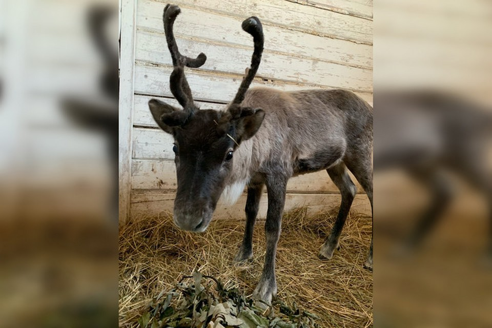 Северный олень Брусника приехал в Пермь из Нижнего Новгорода. Фото: пермский зоопарк.