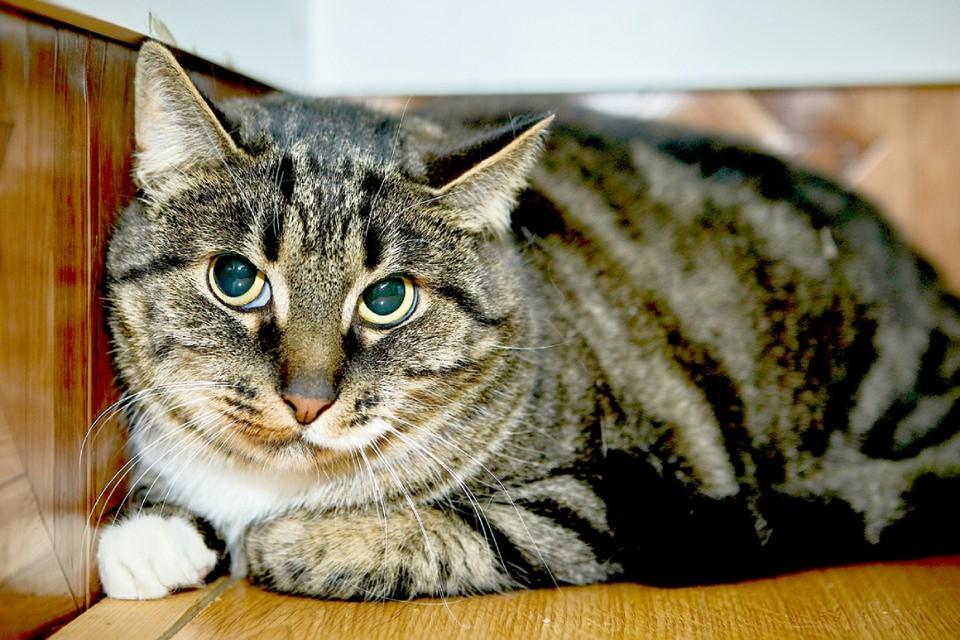 Симба здоров, привит, приучен к лотку и готов к встрече с новыми хозяевами. Фото предоставлено мини-приютом «Счастливый кот».