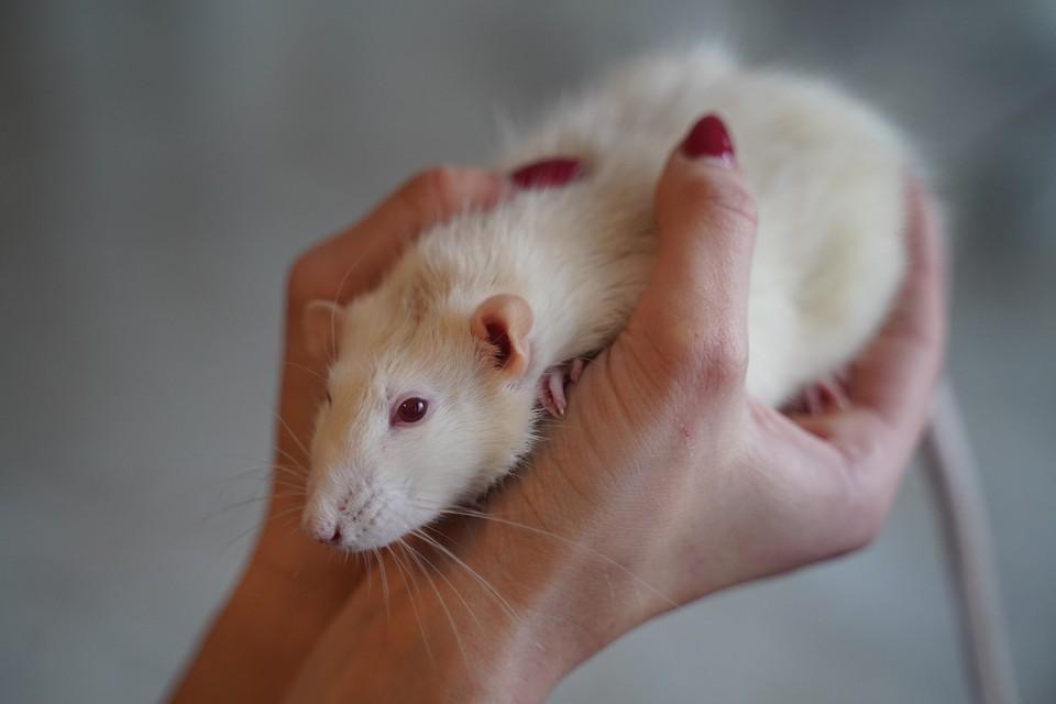Ученые создали робота с мозгом из нейронов крысы