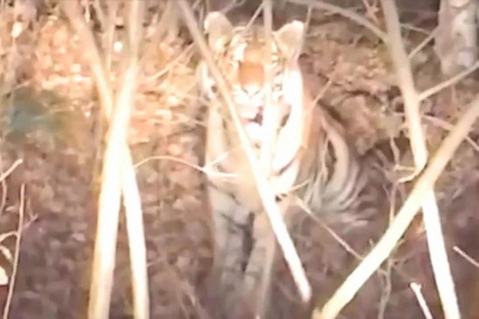 Тигр, который вышел к дороге в Приморье, спокойно отнесся в разглядывающим его людям. Скриншот видео: Instagram-паблик amurtigercenter