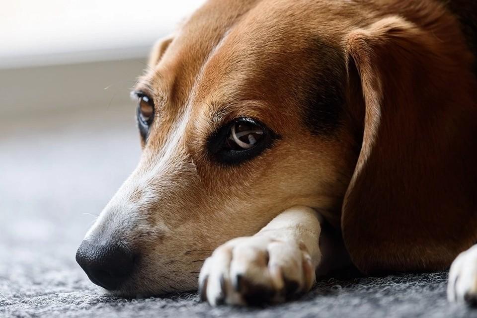 Пироплазмоз у собак: причины, симптомы, лечение, профилактика