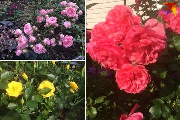 Создаем для роз зимние «ясли»: эксперт из Ботанического сада рассказала о черенковании роз