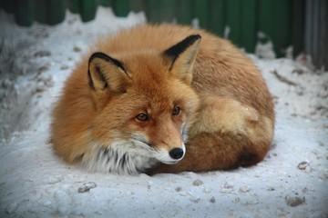 «Он откликается по имени»: Нижегородская семья третий месяц разыскивает сбежавшего ручного лиса
