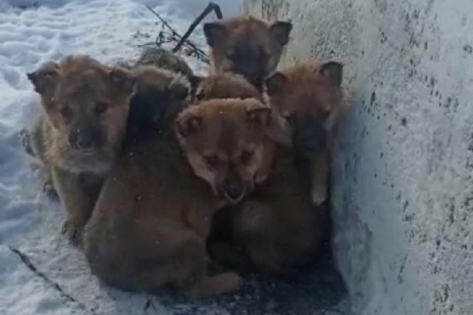 Шестерых щенков бросили в сугробе в Шерегеше. ФОТО: из личного архива героя публикации