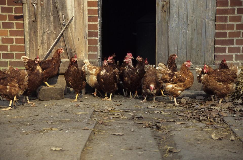 Первый случай заражения птичьим гриппом на птицеферме в Митоё был выявлен в начале ноября