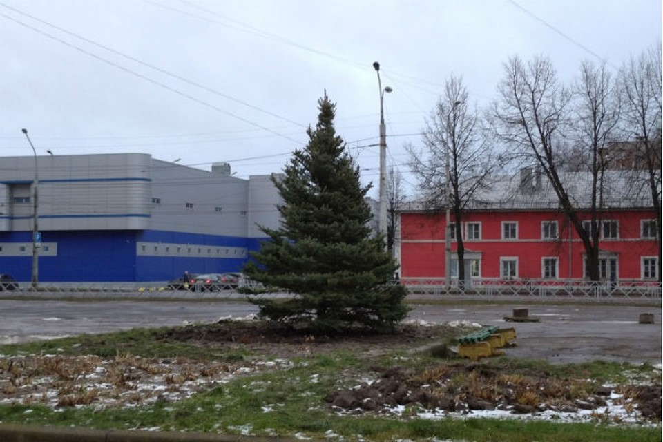 Елку высадили на пересечении улиц Захарова и Максима Горького