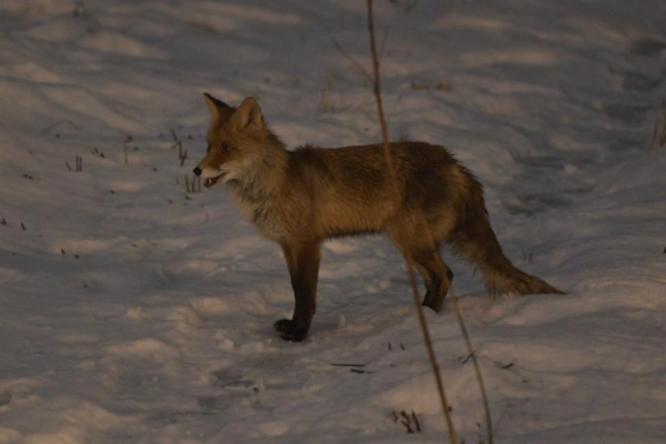 Похоже, лисичка искала еду.
