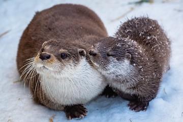 В красноярском зоопарке показали, как выдра играет в снегу со своим детенышем