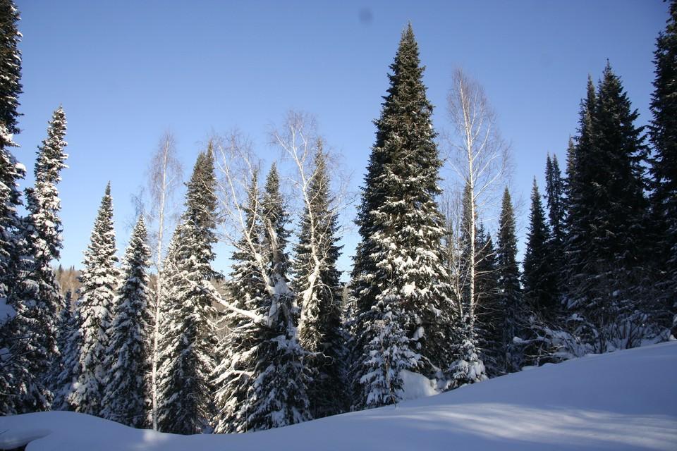 Лесосеменное сырье собирают на лесосеках