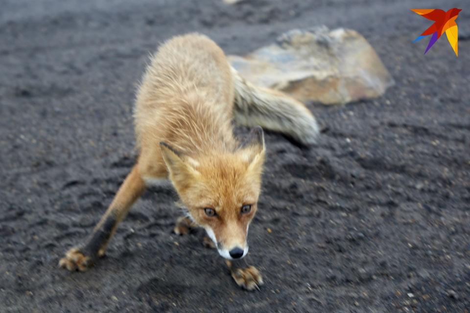 В Мурманской области лисы все чаще выходят к людям. Фото: Кристина Безбородова