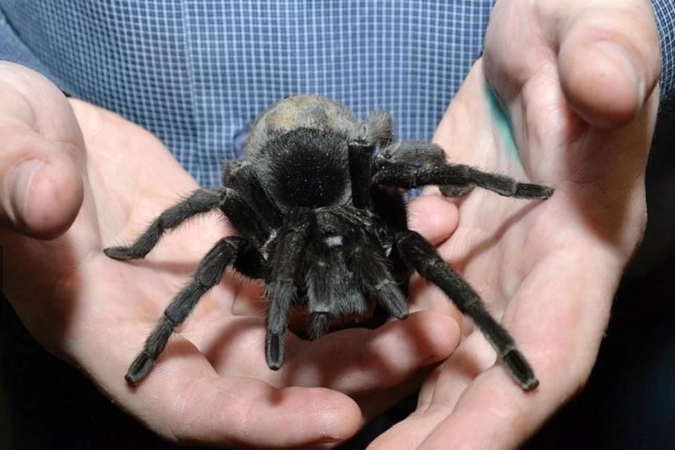 Ядовитые пауки дома - не такая уж и редкая живность.