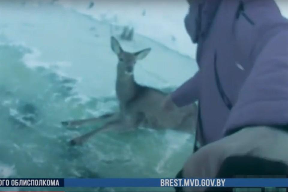Олень не мог встать на скользком льду, люди помогли. Фото: кадр из видео УВД Брестского облисполкома.