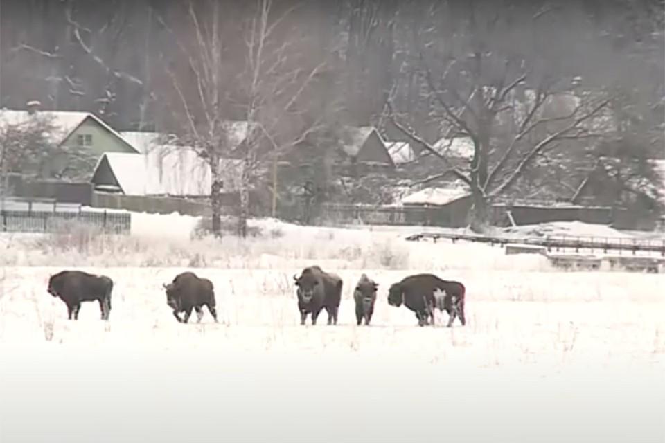 Стадо зубров гуляет в окрестностях белорусской деревни. Фото: кадр из видео Беларусь-4 Могилев.