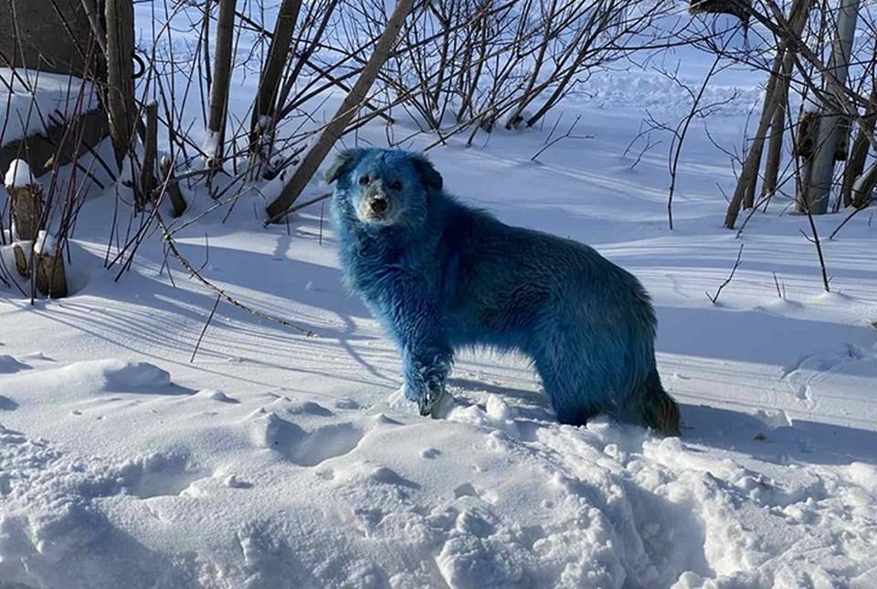 Пушистые аватары: Стаю голубых собак заметили в Дзержинске. ФОТО: Алексей Ганин.