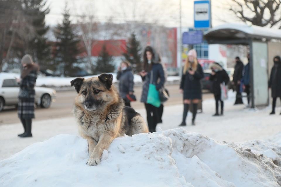 Железногорск просит на отлов диких собак дополнительные средства