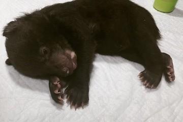 «Очаровательные косолапенькие пяточки»: в Приморье ветеринары борются за жизнь осиротевшего медвежонка