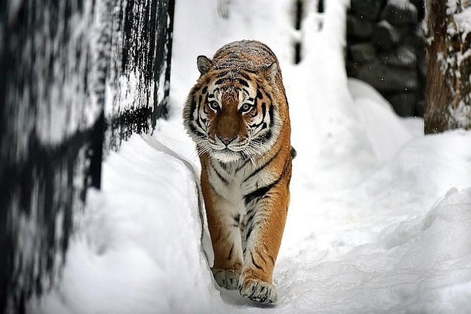 Специалисты посмотрели видео и сказали, что встреча человека и тигра произошла на территории Большехехцирского заповедника