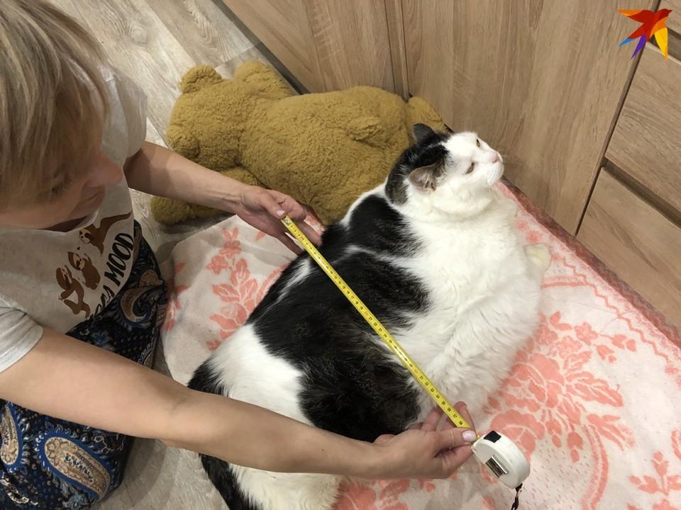 «Он большой котик, но худеет и, кажется, счастлив»: узнали, как поживает Перышко - самый толстый кот Беларуси
