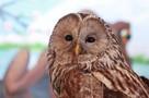 «Характер у нее боевой!»: раненую сову, спасшуюся от лисы, выхаживают в Иркутской зоогалерее