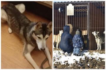 «Лапа дружбы»: волонтеры из фонда «Хаски Хэлп» по всей стране спасают от гибели ездовых собак, от которых отказались люди