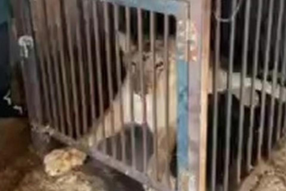 Цирковая львица почти год прожила в гараже частного дома в Иркутской области.