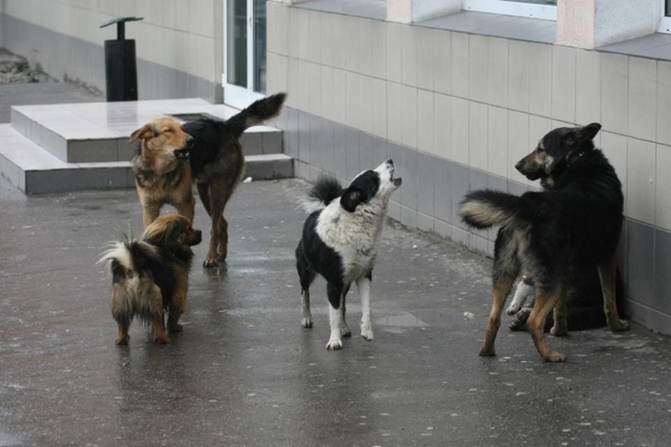 Кинолог рассказала, как вести себя, если на вас нападает стая бездомных собак