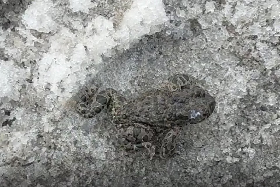 Сибирячка сняла на видео лягушку-снегушку. Фото: стоп-кадр.