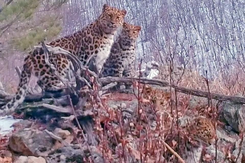 """Сразу четыре леопарда засняла фотоловушка в национальном парке """"Земля леопарда"""""""