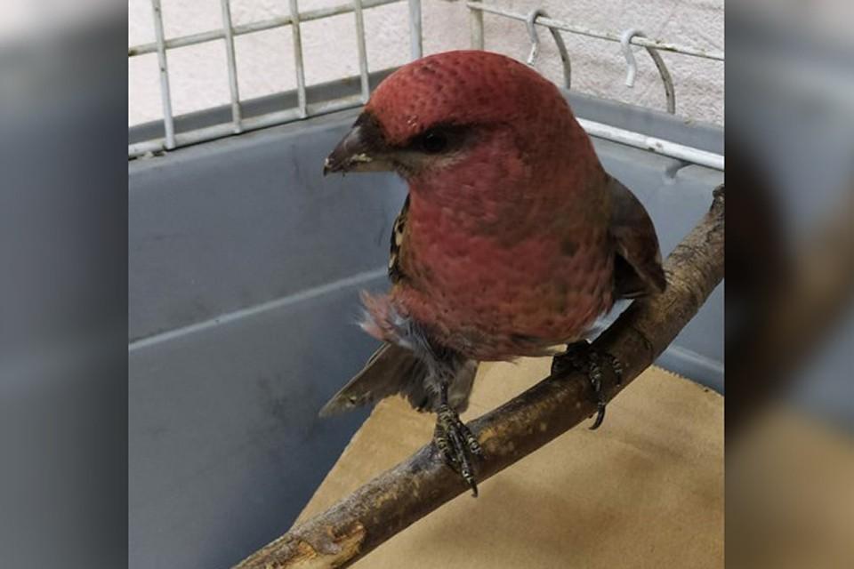 Врачи считают, что эту птицу привезли в область, потому что таких они раньше не встречали, да и сама птица не боится человеческих рук. Фото: Североморская городская ветеринарная станция
