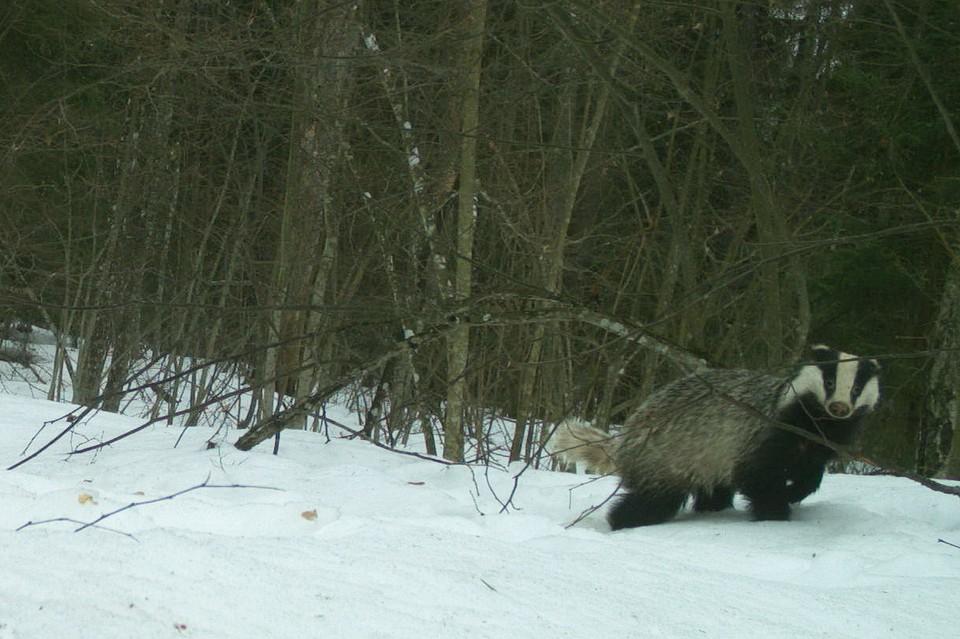 """Фото с фотоловушки. Автор: заповедник """"Брянский лес""""."""