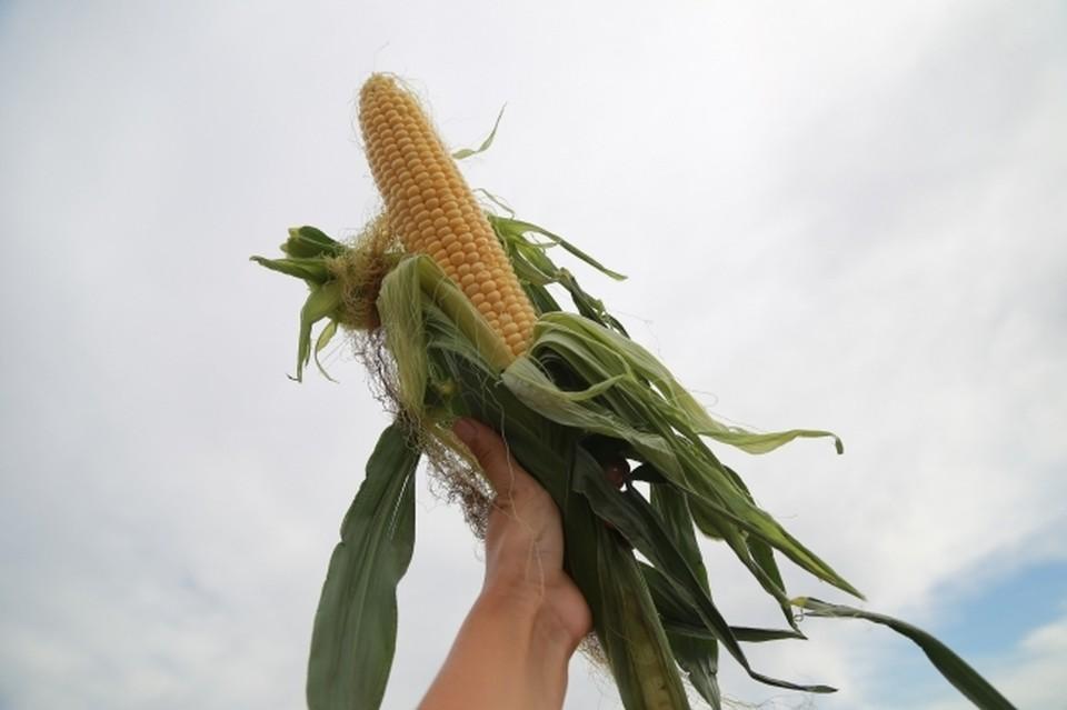 На Кубани стартовал сев кукурузы