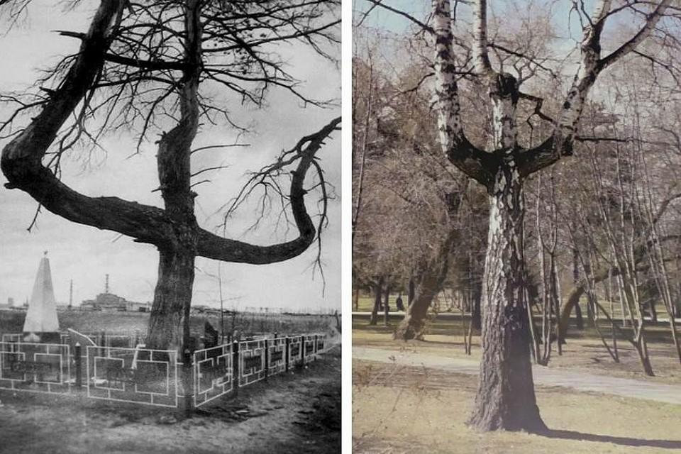 Деревья-двойники: одно росло возле Чернобольской АЭС, другое выросло в Новосибирске возле стелы, посвященной ликвидаторам. Фото: Сибирский региональный союз «Чернобыль»