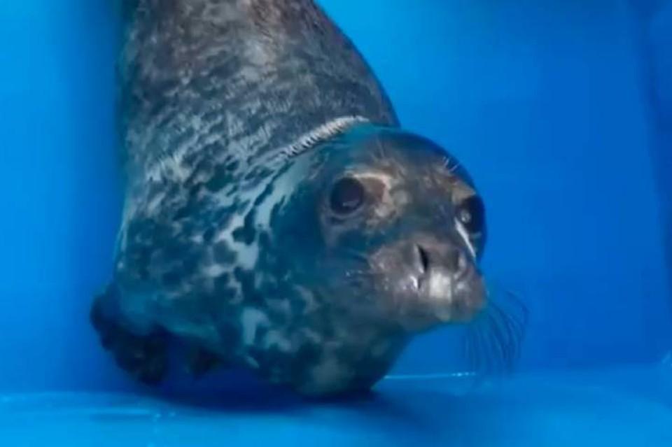 Умирающий детеныш тюленя, спасенный под Петербургом, пошел на поправку