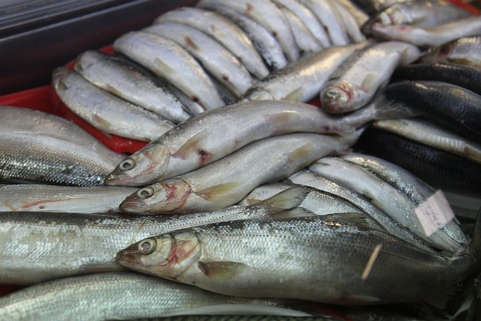 Запрет на ловлю Байкальского омуля могут пересмотреть