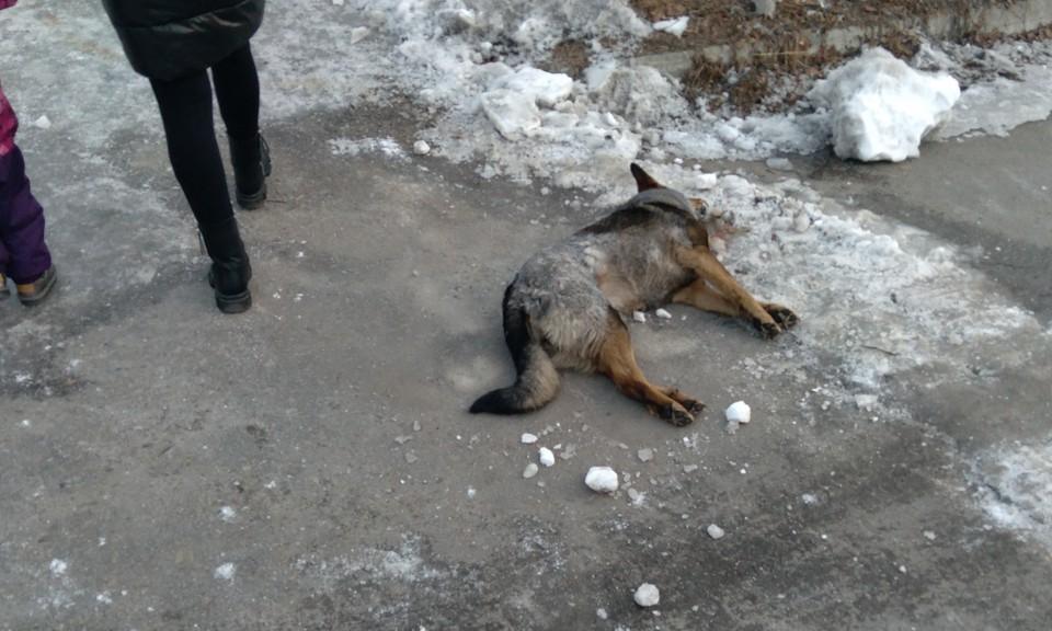 Бездомных животных массово травят неизвестные. Фото: Павел Проскурин.