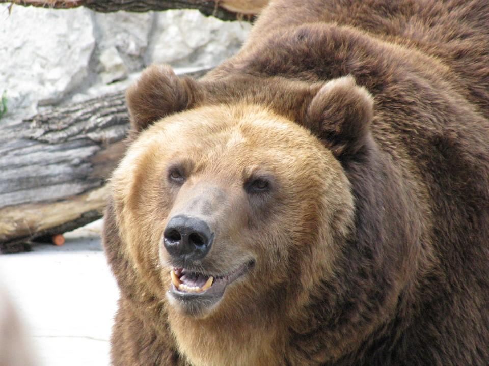 В Кузбассе ликвидировали агрессивных медведей.