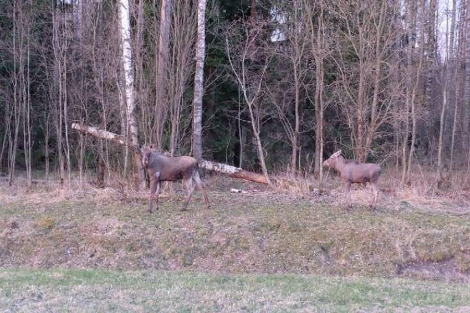Двух лосей заметили на КАД в Петербурге
