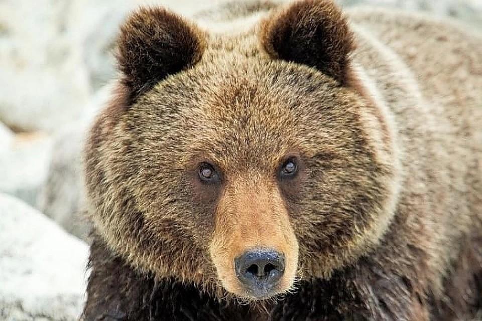 Хищник копошился между могилами сегодня, 3 мая, утром. Видимо, медведь вышел к людям в поисках еды после длительной спячки.