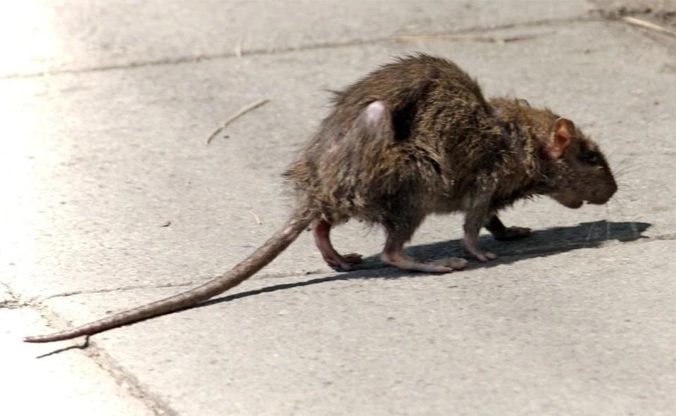 Самару атаковали полчища крыс