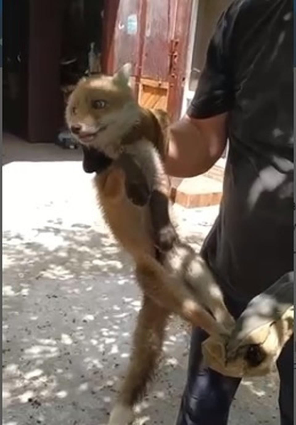 Лису поймали и выпустили в лес (Фото: скрин с видео).