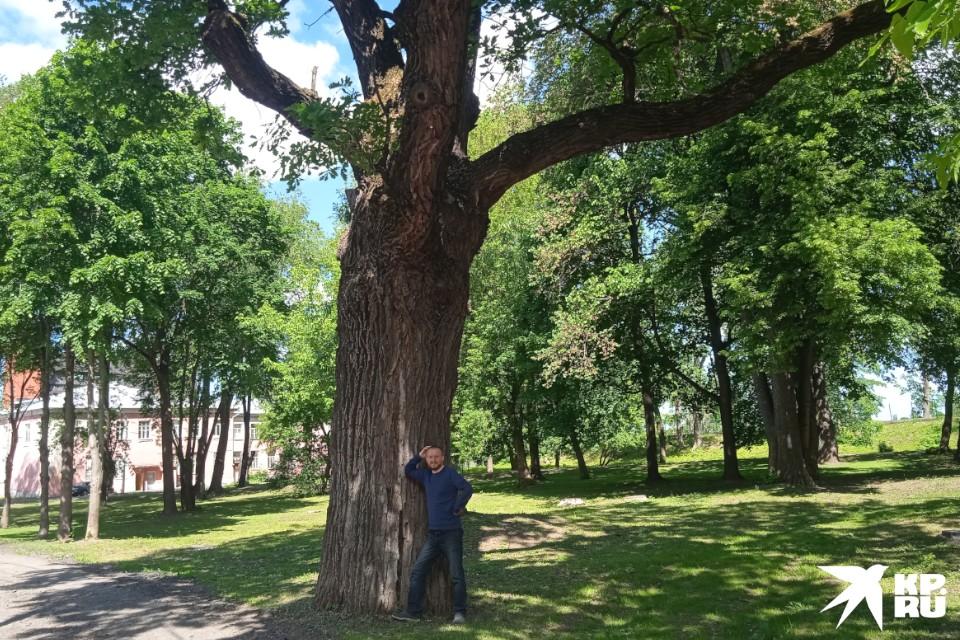 Царский дуб красив, могуч и овеян легендами.