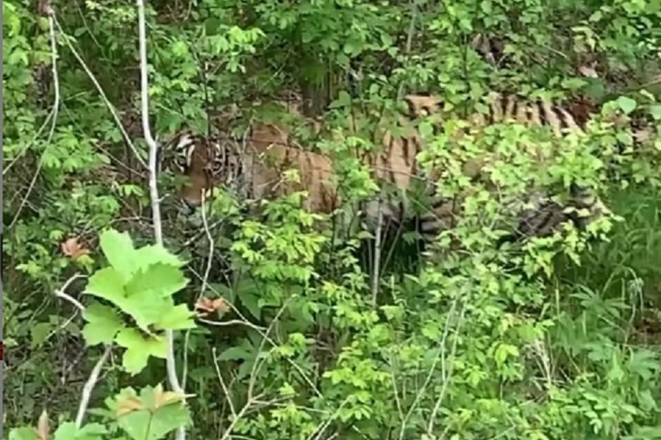 «Мамочки, настоящий тигр!»: удачливые туристы встретили затаившегося полосатого зверя в Хабаровском крае. Фото: скриншот с видео.