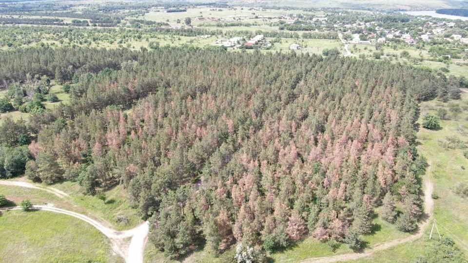 Сосны засыхают. Фото: Центр защиты леса.