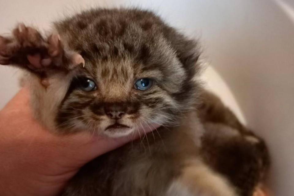 «Думали, кошка от соседского британца нагуляла»: в Бурятии семья нашла на участке детенышей краснокнижного манула