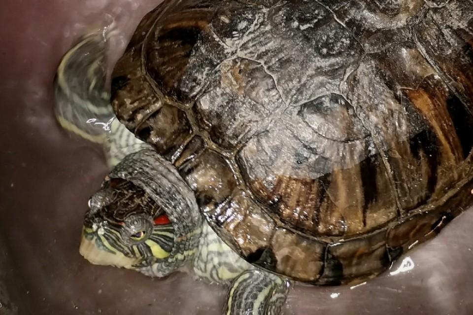 Биологи объяснили, зачем черепаху, которая брела по улице в Иркутске, посадили в раствор марганцовки. Фото: Людмила Ивушкина.