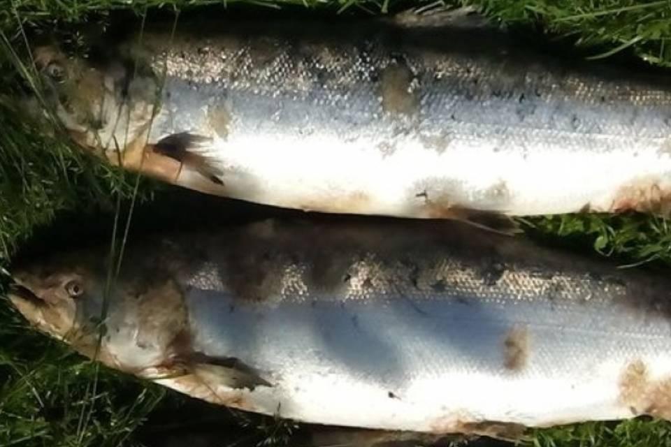 Уже шесть лет семга болеет в реках Мурманской области. Фото: комитет по ветеринарии Мурманской области