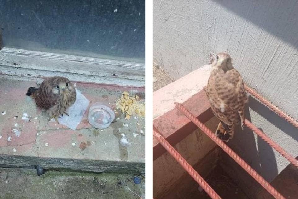 Сокол был травмирован и не смог улететь, горожане его решили покормить. Фото: читательницы intex-press.by