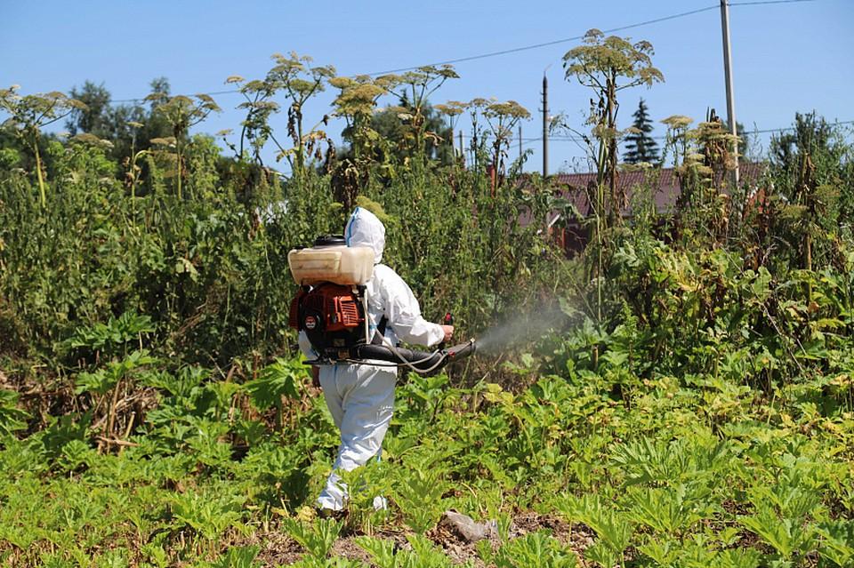 Борщевик Сосновского – травянистое растение, способное вызывать сильные ожоги