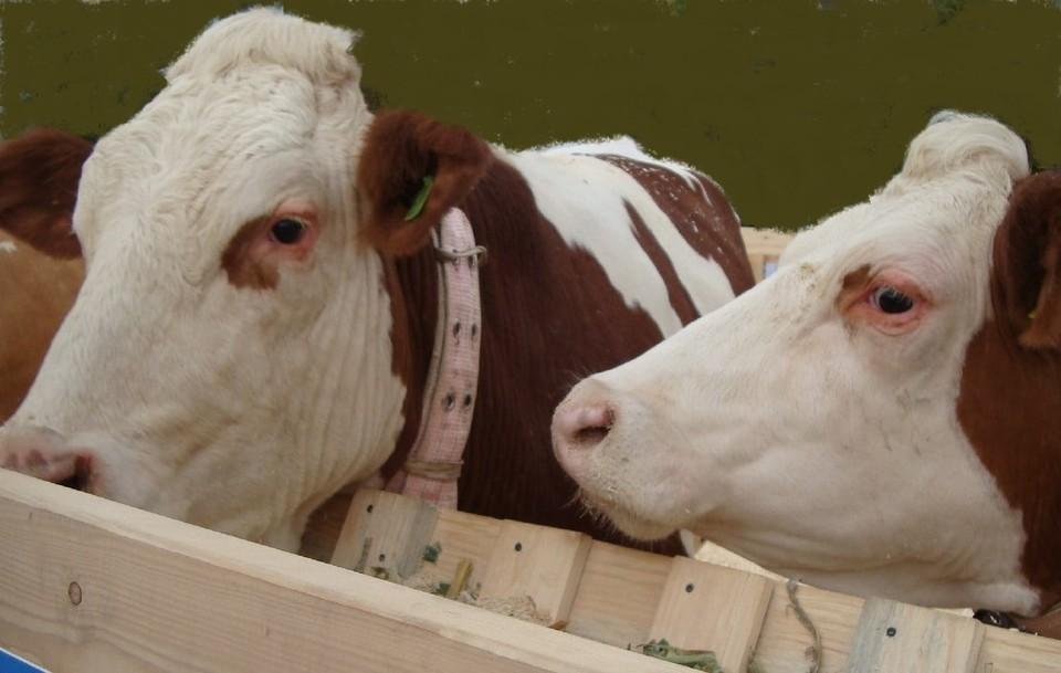 В Нижневартовском районе выявлен очаг инфекции у крупного рогатого скота